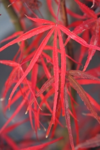 acer_palmatum_hubbs_red_willow2__61540.1356273361.1280.1280